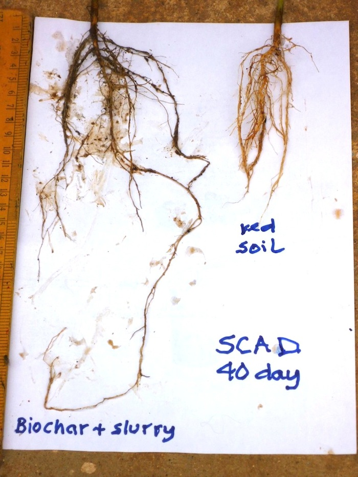 Root formation of bhindi plants. It compares a control planted in soil, and one in which biochar charged with slurry from an anaerobic digester is included. Biochar on its own mixed with soil did not perform as well.